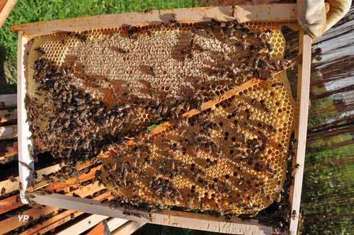 Cadre croisé de ruche avec abeilles, couvain et miel