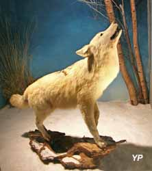Musée du loup - loup blanc (Musée du loup)