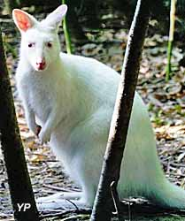 Parc animalier Tropicaland - wallaby blanc
