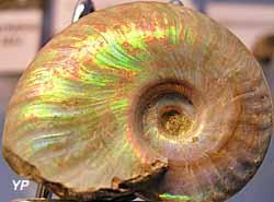 Musée de Géologie Pierre Vetter - ammonite