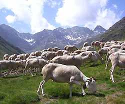 troupeau de moutons près de Tarascon-sur-Ariège (doc. OT Tarascon-sur-Ariège)