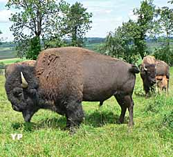 Bisons du Sachuron