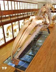 Muséum d'Histoire naturelle de Nantes - baleine (Ville de Nantes)