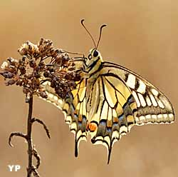 Machaon ou Grand porte-queue