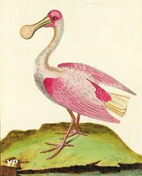 Spatule de couleur rose, de Cayenne (François-Nicolas Martinet - XVIIIe s.)  (Musée-site Buffon, Montbard)
