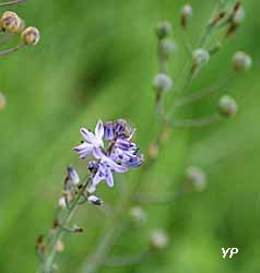 Scille d'automne, fleur protégée en Région Centre