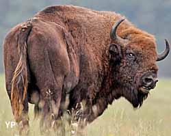 Bison (doc. Réserve des Monts d'Azur)