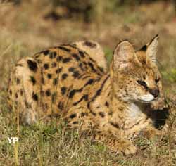 Serval (doc. Office de tourisme de Labenne)
