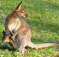 Moulin de Poyaller - wallaby et son petit (doc. Moulin de Poyaller)