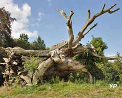 Parc de Bonnefontaine - l'harbre de la duchesse Anne