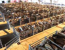 marché aux bestiaux de Laissac (doc. Office de tourisme du Laissagais)