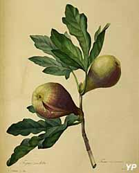 Musée Médard- choix des plus belles fleurs, la figue violette, de Pierre Joseph Redouté