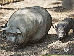 Bambouseraie en Cévennes - cochons d'Asie