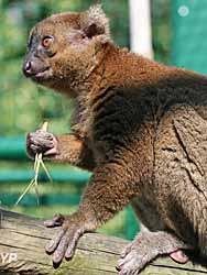 Muséum - grand hapalémur