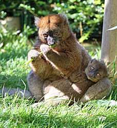 Muséum - grand hapalémur et son bébé