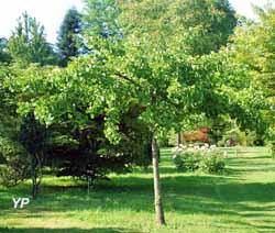 Arboretum Adeline - Ginkgo biloba 'Horizontalis'