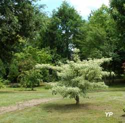 Arboretum Adeline - Cornus controversa 'Variegata'
