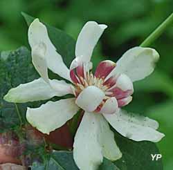 Arboretum Adeline - Calycanthus 'Venus'