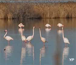 Flamants roses sur l'étang du Bagnas
