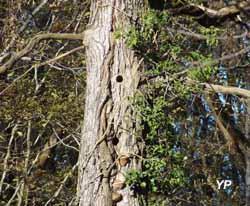 Arboretum d'Etrez - l'arbre à chouettes