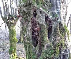 Arboretum d'Etrez - une charmille