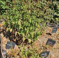 L'Herbularius