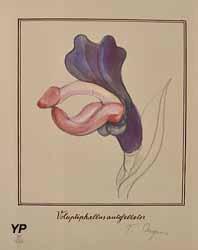 Vulvodrendrum penifloris (Tomi Ungerer, 1988)