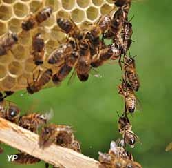 Chaîne d'abeilles construisant des alvéoles de cire